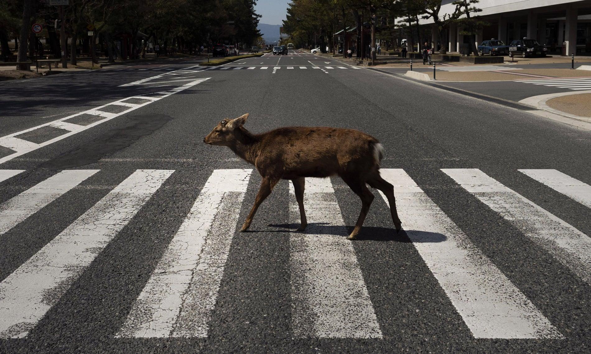 Un cervo sulle strisce pedonali in Giappone
