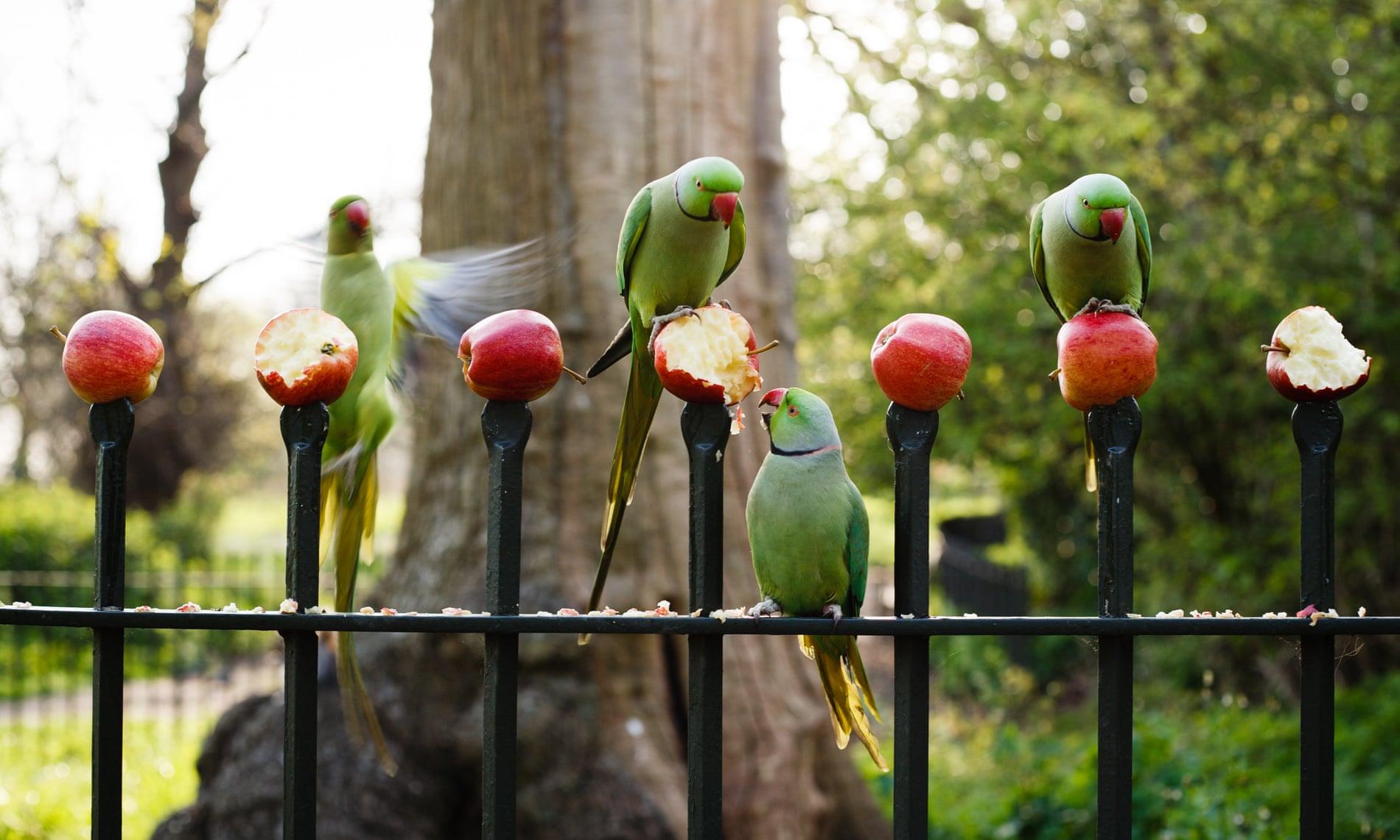 I pappagallini con il collo ad anello mangiano le mele lasciate per loro su una recinzione a Kensington Gardens